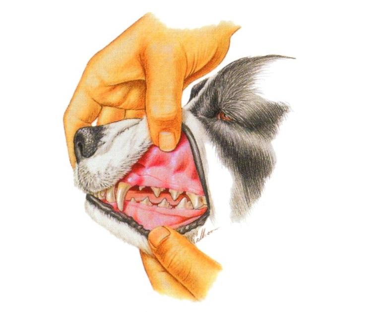 dentition-chien